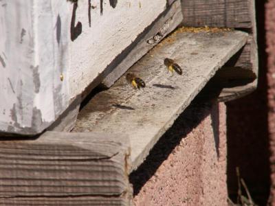 abejas volviendo a la colmena