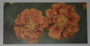 tagetes pared