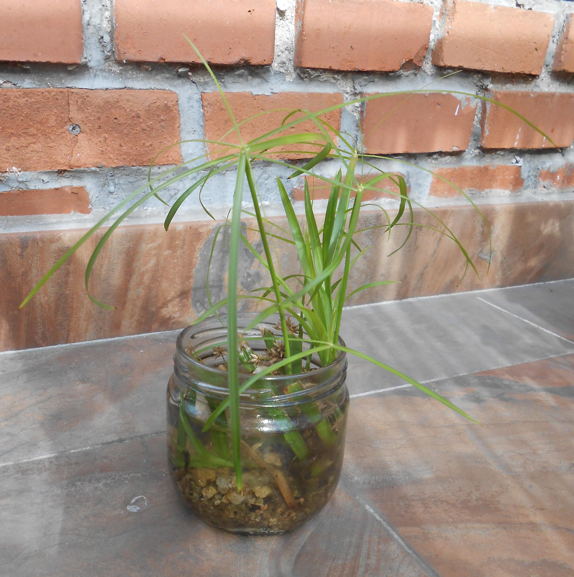 papiro crecido en frasco de vidrio