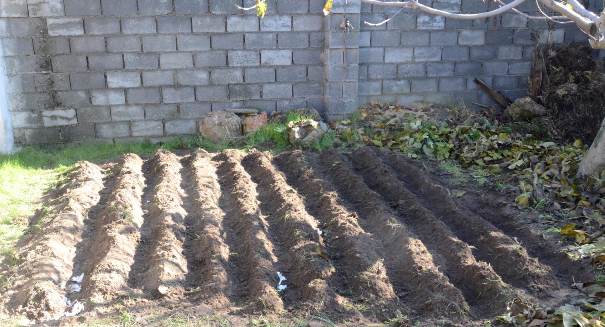 surcos para plantar ajos